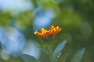 Marigold, Calendula officinalis, blossom, close-up by David & Micha Sheldon