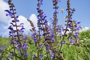 Meadow sage, Salvia pratensis, blossom, by David & Micha Sheldon