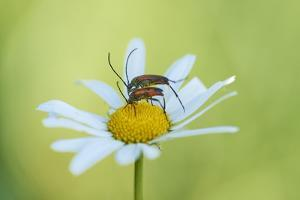 red longhorn beetle, Stictoleptura rubra, couple, mating, Margerite, blossom, close-up by David & Micha Sheldon