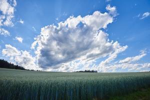 Rye, Secale cereale, scenery, back light, by David & Micha Sheldon