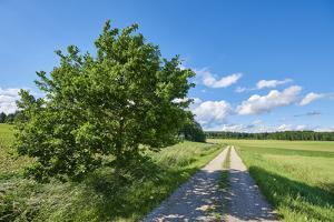 Scenery, path, common oak, Quercus robur, heaven, blue, spring by David & Micha Sheldon
