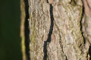 Scots pine, Pinus sylvestris, bark, detail by David & Micha Sheldon