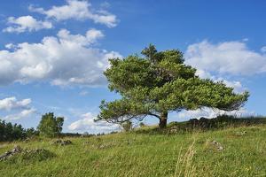 Scots pine, Pinus sylvestris, tree by David & Micha Sheldon