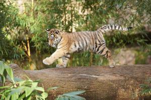Siberian Tiger, Panthera Tigris Altaica, Young Animal, Running, Side View by David & Micha Sheldon