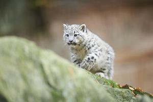 Snow Leopard, Uncia Uncia, Young Animal, Rock, Walking, Frontal by David & Micha Sheldon