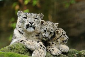 Snow Leopards, Uncia Uncia, Mother with Young Animals by David & Micha Sheldon