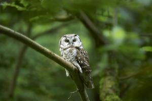 Tengmalm's owl, Aegolius funereus, branch, frontal, sit by David & Micha Sheldon