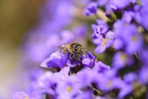 Western Honey Bee, Apis Mellifera, Blossoms, Dusting, Looking at Camera by David & Micha Sheldon