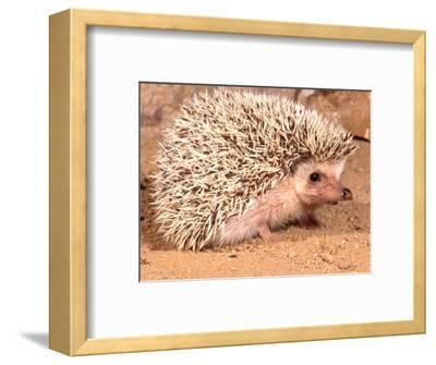African Hedgehog, Native to Africa