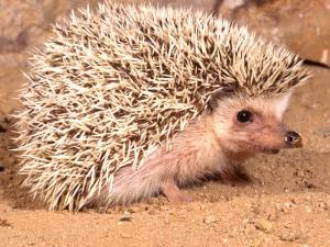 African Hedgehog, Native to Africa by David Northcott
