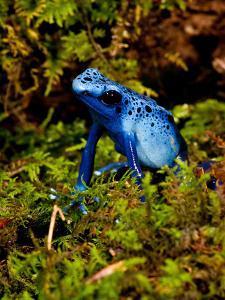Azure Dart Frog Dendrobates Azureus Native to Northern South America by David Northcott