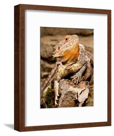 Bearded Dragon, Pogona Vitticeps, Native to Australia