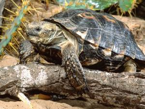 Berlandier's Tortoise, South Texas, USA by David Northcott