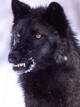 Black Timber Wolf Snarling, Utah, USA by David Northcott