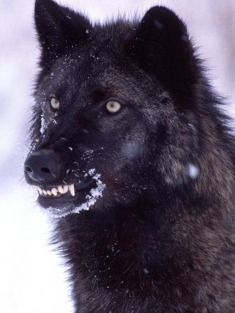 Black Timber Wolf Snarling, Utah, USA