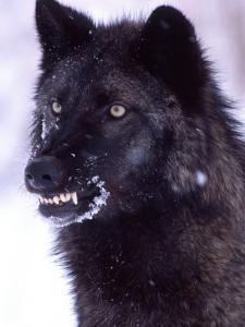 Black Timber Wolf Snarling, Utah, USA by David Northcott