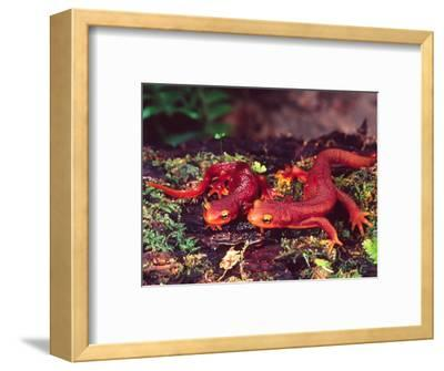 California Newt, Native to California, USA
