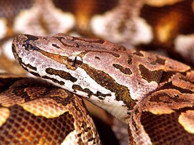 Dumeril's Boa, Native to Madagascar