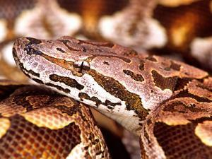 Dumeril's Boa, Native to Madagascar by David Northcott
