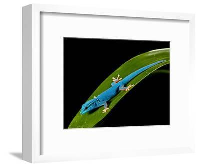 Electric Blue Day Gecko, Lygodactylus Williamsi, Native to Tanzania