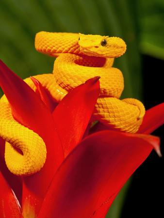 Eyelash Viper, Bothriechis Schlegeli, Native to Southern Mexico into Central America