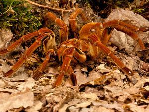 Goliath Bird-Eater Spider, Theraphosa Blondi, Native to the Rain Forest Regions of South America by David Northcott