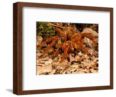 Goliath Bird-Eater Spider, Theraphosa Blondi, Native to the Rain Forest Regions of South America