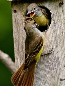 Great Crested Flycatcher Myiarchus Crinitus Central Pennsylvania by David Northcott