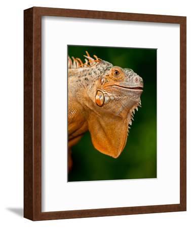 Green Iguana, Iguana Iguana, Native to Mexico and Central America