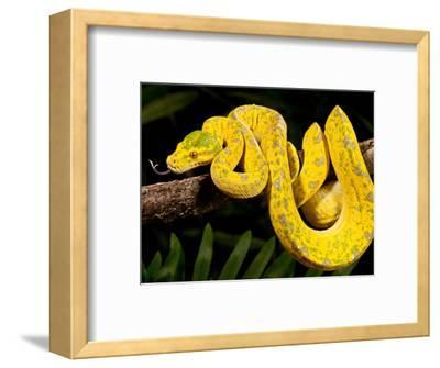 Green Tree Python, Morelia (Chondropython) Viridis, Native to New Guinea