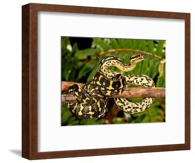 Jungle Carpet Python, Morelia Spilotes Variegata, Native to Australia and New Guinea