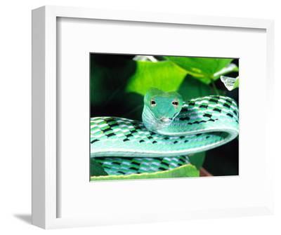 Long-nose Vine Snake, Native to SE Asia