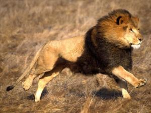 Male African Lion Running, Native to Africa by David Northcott