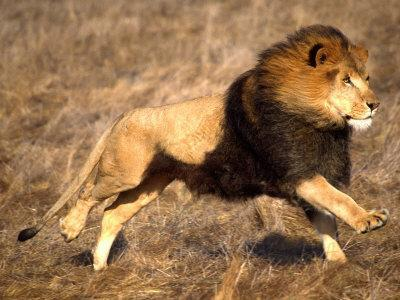 Male African Lion Running, Native to Africa