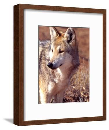 Mexican Wolf, Native to Mexico