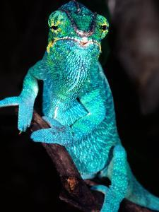 Nosy Be Blue Phase Panther Chameleon, Native to Madagascar by David Northcott