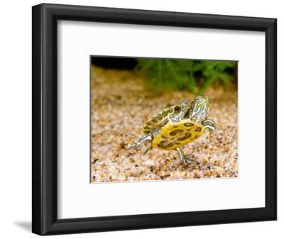 Ornate Red Ear Turtle, Chrysemys Scripta Elegans, Native to Southern Us