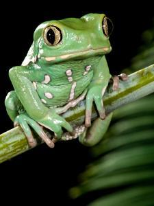 Painted Monkey Frog Phyllomedunited States of America Savaugii Native to Paraguay by David Northcott