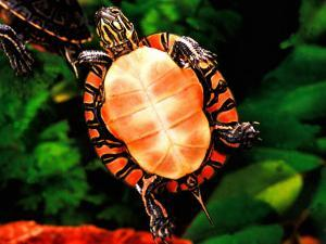 Painted Turtle, Native to Southern USA by David Northcott