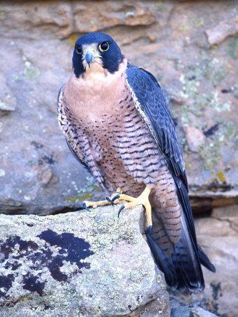 Peregrine Falcon in Flight, Native to USA