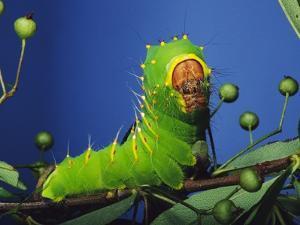 Polyphemus Moth Caterpillar Perching on Twig by David Northcott