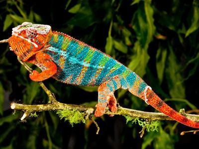 Rainbow Panther Chameleon, Fucifer Pardalis, Native to Madagascar