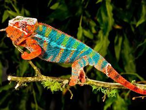 Rainbow Panther Chameleon, Fucifer Pardalis, Native to Madagascar by David Northcott