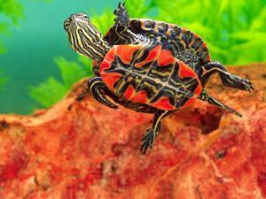 Red Belly Turtle Hatchling, Native to Southern USA by David Northcott