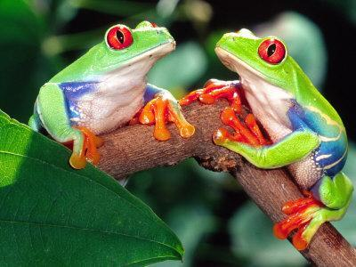 Red Eye Tree Frog Pair, Native to Central America