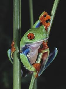 Red-Eyed Tree Frog Climbing through Plant Stems by David Northcott