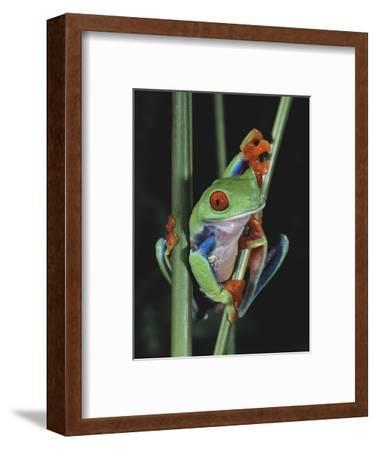 Red-Eyed Tree Frog Climbing through Plant Stems