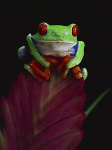 Red-Eyed Tree Frog Perched on Plant by David Northcott