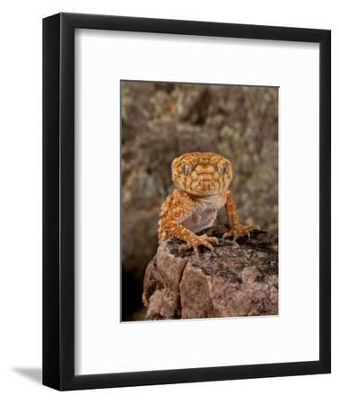 Rough Knob-Tail Gecko, Nephrurus Amyae, Native to Western Australia