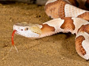 Southern Copperhead, Agkistrodon Contortrix Contortrix, Native to South Eastern Us by David Northcott